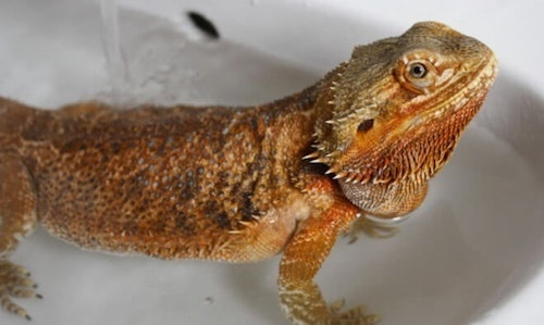 how to give a bearded dragon a bath-1