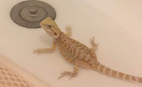 how to give a bearded dragon a bath-3