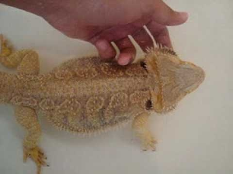 how to give a bearded dragon a bath-4