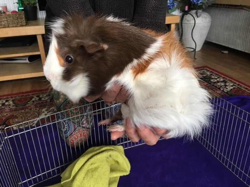 how to pick up a guinea pig-0